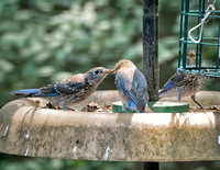 Bluebirds at the mealworm feeder - one fledgling gets fed while #2 looks on.