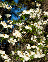 Beautiful white dogwoods in abundance.