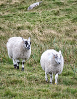 Much more common white sheep on the north end of Iona.