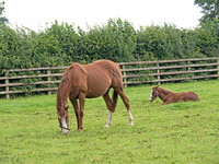 Mares and foals pasture at the Irish National Stud. Small groups of mares and foals are pastured together until the foals are weaned at about age 6 months.
