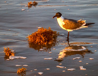 Early morning light on a laughing gull contemplating its breakfast in a clump of sargasso seaweed. Sargasso weed is plentiful during certain seasons of the year, and is piled high to anchor the dunes.