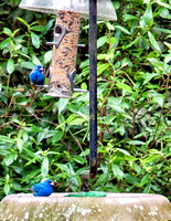 April 20, 2014, our first ever sighting of Indigo Buntings in our yard.