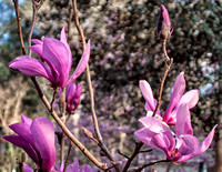 Early Blooming Japanese Magnolias - Smaller Flowers, Darker Colors.