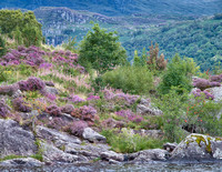 Heather in bloom on the shore of Loch Lomond.