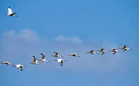 A flock of white ibis flew overhead.