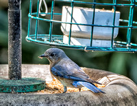 Bluebird parent gathering mealworms to feed the babies in the nest box located in our front garden.