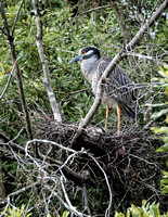 May - Yellow Crowned Night Heron on her nest.