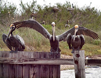 Pelicans are social birds which forage in large groups.
