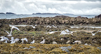 Noisy group of seagulls on the east coast of Iona.
