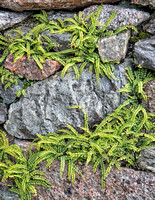Multiple clusters of beautiful ferns growing out of a break in the rocks.
