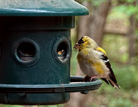 Male goldfinch changing into breeding colors.