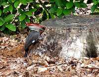 Fascinating to watch this pileated woodpecker as it went after insects in the stump.
