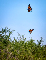 Son Will and I headed east on the path past the lighthouse, these two monarchs were flying into a very brisk breeze.