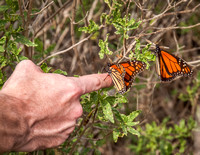We have raised monarchs in our yard since Will was 5, it has been great fun to enjoy sharing them with him again!