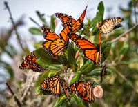 We found numerous clusters of monarchs on the path past the lighthouse.