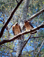 A pair of red shouldered hawks resting in a tree in our backyard.