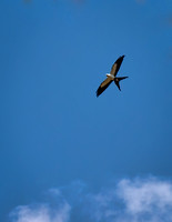 We heard a swallow-tail kite call from high above us, I got one picture and it was gone.