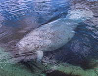 The number of manatees in the Wakulla River and at the Spring has increased yearly over the past five years.