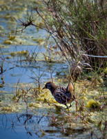 Sora rail, a small, secretive bird of freshwater marshes.