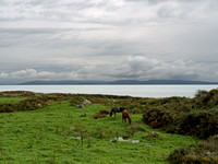Horses grazing on the shore of Galway Bay.