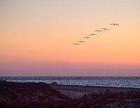 One of my favorite sights, a line of pelicans soars gracefully towards the sunrise & the jetty.