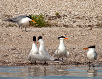 Royal terns, the name is very fitting!