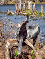 January and an Anhinga dries out in the sun.