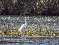 January and a Great White Egret in the sunlight.