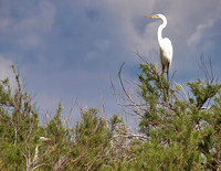 The great egret also finds Shamrock Island to be a safe place to nest.