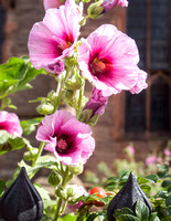 Hollyhocks in the St. Laurence Church garden.