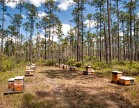Beekeeping deep in the Forest, I love the way the pines seem to stretch to the heavens.