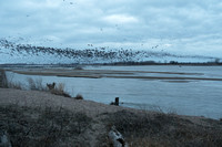 Large flocks of sandhill cranes coming into the Platte River for the night.