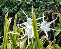 Wakulla Springs State Park - Spider Lilies.