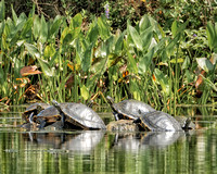 Wakulla Springs State Park - Florida Cooters.