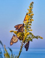 Monarchs headed south in early October.